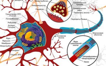 Из чего состоит нервная система